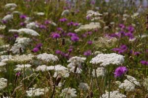meadow-1669716_960_720 (1)